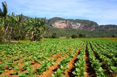 Viñales, small town in Pinar del Rio region of Cuba is where 70% of all the tobacco is produced that make Cuban cigars