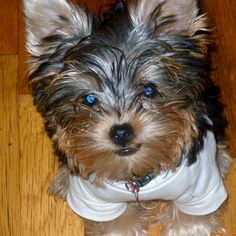 yorkie puppy almost four months old....such a beauty