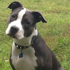 Image result for black & white pitbull