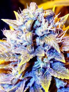 Black Kush x CBDX Feminised Seeds