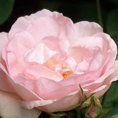 Rosa 'Celestial' Fotografia de John Glover, uno de los primeros y de los mas importantes fotografos de jardin del Reino Unido