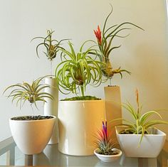 How do you care for them?  Airplants like bright, indirect sunlight and filtered water. They can be watered either by submerging them for several hours about every 10 days, or spraying them until dripping wet more regularly. They like temperatures from 50-80 degrees.