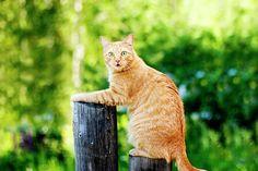 Oksana Ariskina Photograph - Ginger Funny Cat On Fence by Oksana Ariskina  #OksanaAriskina #OksanaAriskinaFineArtPhotography #Cat #Pet #ArtForHome #Ginger #Funny #Cute #FineArtPrints #InteriorDesign #PrintsForSale