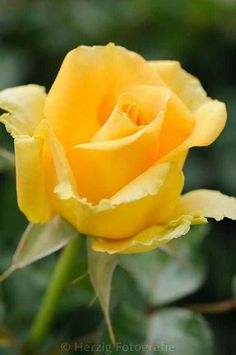 My favorite rose ever since I can remember...the yellow rose!!!
