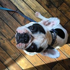 piękny poranek (kto późno wstaje, ten Focus 😉) Szelki i smycz 👉🏻@dogsprofit_official #bulldog #bulldożek #frenchbulldog #frenchielove #frenchie #bully #dog #doglover