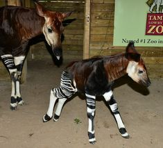 OH, OKAPI! At the Tampa Lowry Park Zoo in Florida, a rare okapi calf was born on January This is the third significant birth in the African habitat area. Best zoo EVER! Unusual Animals, Rare Animals, Cute Baby Animals, Animals Beautiful, Animals And Pets, Wild Animals, Animal Babies, Zebras, Tampa Zoo
