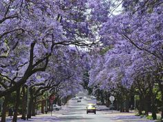 Jacaranda trees, Pretoria, South Africa. These trees are also popular here in Western Australia and I love them!