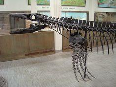 Dinosaur skeleton. Mosasaur
