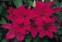 Clematis 'Cardinal Wyszynski'   A magnificent very free flowering Polish introduction with large 6-8' glowing crimson flowers each highlighted by a central cluster of dark anthers. A very vigorous clematis. Blooms July-September.