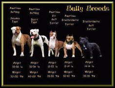 Great picture that shows the bully breeds....sweet things! Hate that people stereotype these guys!