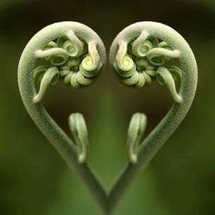 La magie de Fibonacci dans la nature, les maths de Dieu … The magic of Fibonacci in nature, the maths Heart In Nature, All Nature, Heart Art, Amazing Nature, Nature Images, Fern Images, True Nature, Fibonacci In Nature, Fibonacci Spiral