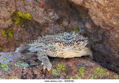 A Texas Horned Lizard Stock Photos & A Texas Horned Lizard Stock ...