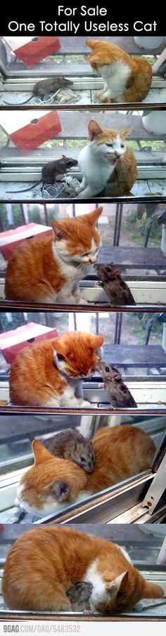 For the record, the rat is probably another pet that the cat is used to being around. Good proof of friendship triumphing over predatory instincts!