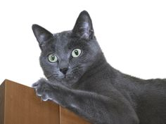 Russian Blue Cats & Allergies
