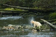 A spirit bear crosses a river in the Great Bear Rainforest in British Columbia, Canada.