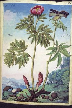 Paeonia mascula, from De Materia Medica, a work on herbal medicine by Pedanius Dioscorides, 16th century edition. It depicts a wide range of plants against a backdrop of landscapes, often featuring populated scenes. Watercolour