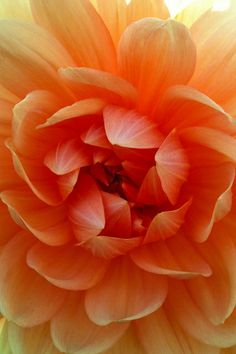 Peachy-Orange Dahlia