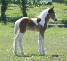 The Gypsy Vanner is an amazing breed of horse. They are also known as Gypsy Cobs, Gypsy Horses, Irish Cobs, and Tinker Horses in this country. These small, hardy draft type horses are imported from England from the true Gypsy families that raise them.