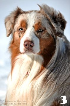 aussie Incredible red Merle.  Our pup Rocket is going to look like this