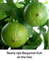 Bergamot stimulates the pancreas & liver, has anti-microbial effects & may help with slow digestion and hypertension.   It is a natural skin toner & detoxifier, & it may prevent premature aging of skin. It ha excellent effects on oily skin conditions & acne.  It is a powerful helper against depression, fatigue or tension. Bergamot can also bring mental clarity. Bergamot helps one to relax and let go.