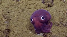 But don't let the Muppet face fool you: These odd little cephalopods are fierce…