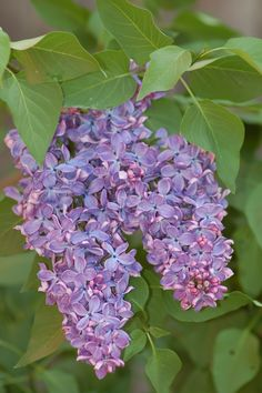 Growing Tips for the Fragrant Lilac Bush