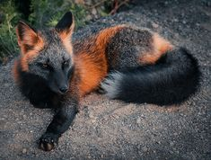 The incredibly rare and majestic Melanistic fox