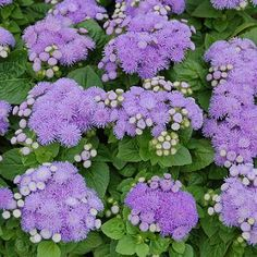 Check out the deal on Ageratum Maui Blue Pellets 1,000 seeds at Hazzard's Seeds Perennial Vegetables, Spiritual Messages, Lavender Blue, Ornamental Grasses, Maui, Perennials, Seeds, Flowers, Plants