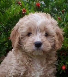 Cavoodle. I don't even want a dog and I want one of these!!!! Sweet baby!!!