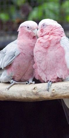 Pretty in Pink love birds Pretty Birds, Love Birds, Beautiful Birds, Animals Beautiful, Cute Animals, Pink Animals, Beautiful Pictures, Small Birds, Nature Animals