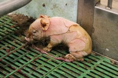 Baby piglets in the meat industry are left to fend for themselves. Mother pigs are held tightly in narrow sow crates-they can barely turn around let alone nurture their young. When piglets arrive they are literally born into slavery. This photograph shows a piglet who has just been born. Soiled and alone he stands defenseless on a dirty plastic crate. Can you see the look of sadness in his eye? See the umbilical cord? It doesn't have to be this way.