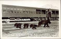 Postcard 8211: Taylor G. Morris, Four of a kind, Jasper Park ([ca. 1943])