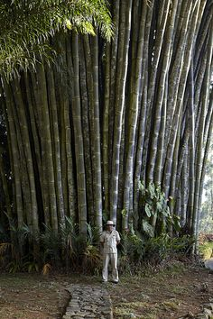 Giant bamboo at Ceylon Tea Trails