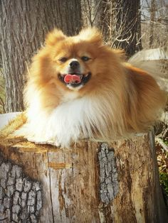 New | A community of Pomeranian lovers!