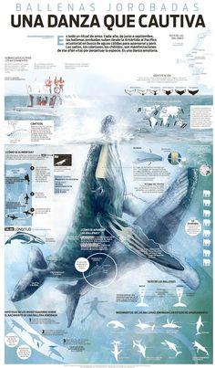 Great work Humpback whale, an amazing dance. Gran trabajo. Ballenas jorobadas, una danza que cautiva