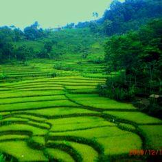 Paddy field, Bandung-Indonesia