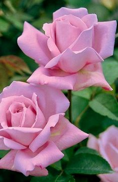 love flowers for her . Beautiful Rose Flowers, Love Rose, Beautiful Flowers, Pink Roses, Pink Flowers, Colorful Roses, Flower Pictures, Flower Wallpaper, Planting Flowers