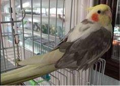 LOST COCKATIEL: 07/07/2017 - San Luis Obispo, California, CA, United States. Ref#: L33132 - #ParrotAlert #LostBird #LostParrot #MissingBird #MissingParrot #LostCockatiel #MissingCockatiel