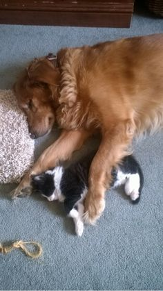 Big Spoon - 12 Big Brother Dogs and Their Kittens These pooches are sure to protect their feline buddies Cute Puppies, Dogs And Puppies, Doggies, Baby Animals, Cute Animals, Dog Cuddles, 15 Dogs, Bestest Friend, Red Cat