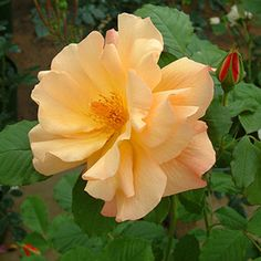Autumn Sunset Rose: Modern Shrubs, 1968, continuous flowering, scented, tolerate some shade, quite thorny, attractive to bees