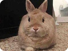 Brooklyn, NY - Netherland Dwarf. Meet LINK, a pet for adoption. http://www.adoptapet.com/pet/17753296-brooklyn-new-york-rabbit
