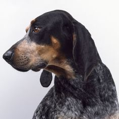 Q: My coonhound chews through supposedly indestructible toys in no time. Can you suggest products that'll stand up to his bite? A: Just as dog owners must find the right leash and kibble, they also need to provide suitable entertainment for their pet. Click for more info...