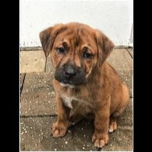 Florida Black Mouth Cur Rescue Adoptions Rescue Me Black Mouth Cur Dog Black Mouth Cur Dog Cat
