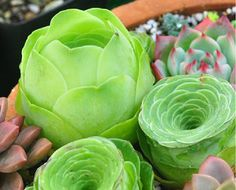DIY frischen seltene sukkulente Pflanze Samen 10 von ZeepSeeds