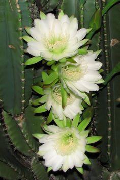 """Cactus.   (""""Cereus repandus."""")"""