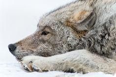 "creatures-alive: ""Polar wolf by Ivan Kislov """