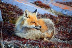 Spring Fox Photo by Amanda Fredlund — National Geographic Your Shot