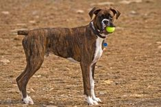 pics of boxer dogs | got a question about boxer dogs just ask brindle boxer dogs are one of ...