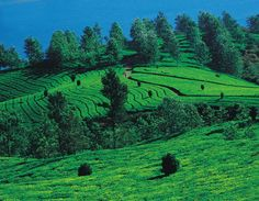 Tea estates Kerala