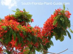 Poincianas are fast-growing trees, reaching heights of 40 to 50 feet. It can grow even wider than its height, so plan accordingly when you choose a place to plant.